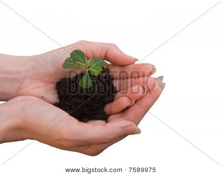 Hands  Female   Sprout   Plant