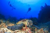 picture of hawksbill turtle  - Hawksbill Sea Turtle and scuba divers - JPG