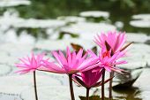 foto of lilly  - Red lilly water flower at Suoi Yen, Chua Huong, Hanoi, Vietnam