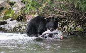 stock photo of wolverine  - Black Bear fishing at Wolverine Creek Alaska