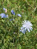 pic of chicory  - Chicory blossom - JPG