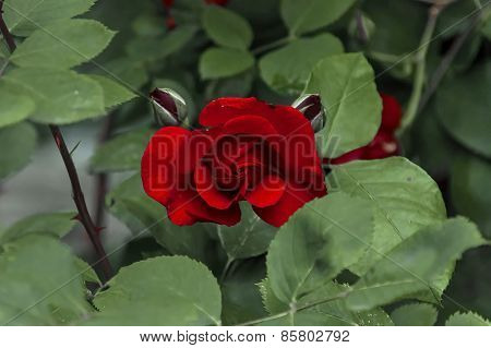 Fragrant velvety red rose