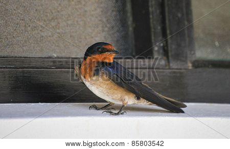 Swallow: Petrochelidon Pyrrhonota