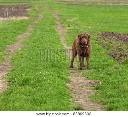 hunting dog labrador retriever