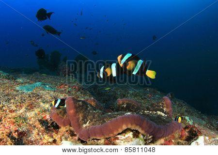 Clarke's Anemonefish and anemone