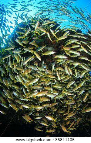 Bigeye Snapper fish