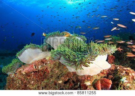 Coral Reef, Anemones and fish underwater