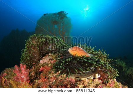 Skunk Anemonefish on underwater coral reef