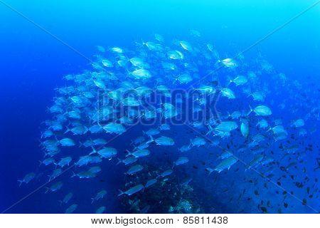 School Bigeye Trevally fish (Jacks)