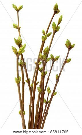 Spring branch of Tree, isolated  white background.