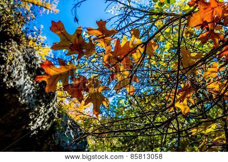 Beautiful Fall Foliage On Oak Trees in Texas.