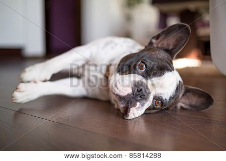French bulldog lying down on the floor