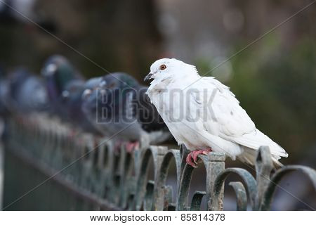 White pigeon standing in a row on a fence
