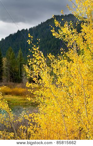 Golden Aspens On The Snake River