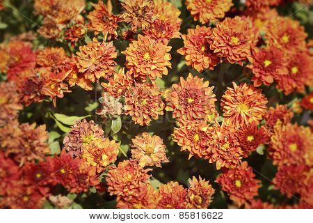 Chrysanthemum Flowers With The Nature