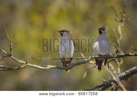 couple of bohemian waxwings perched on a branch, winter in Vosges, france