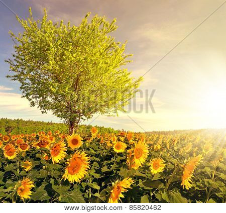 Sunflower field with tree
