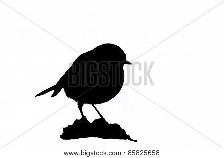 european robin isolated white and black