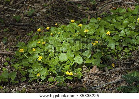 Lesser celandine (Ranunculus ficaria) flower