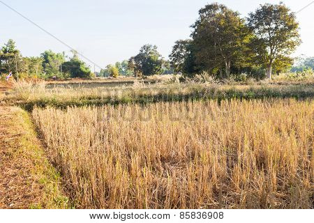 Rice Paddy Field After Harvesting