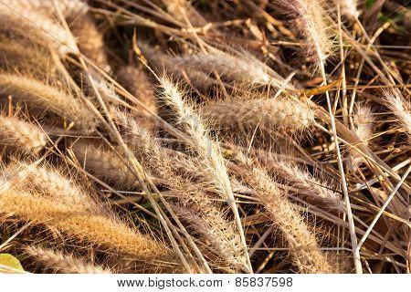Dried Grass Flower On The Ground