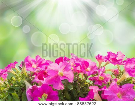 Pink Petunia Flower Isolated