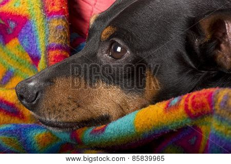Portrait of a pinscher