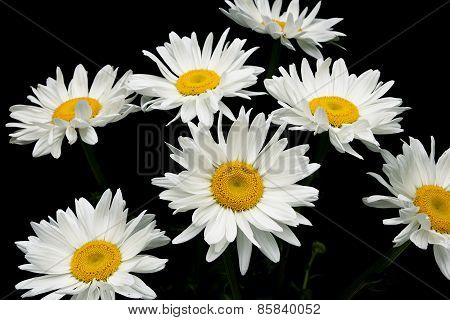Blooming Chamomile Isolated On Black Background
