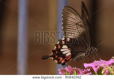 Little Black Butterfly feeding on nectar