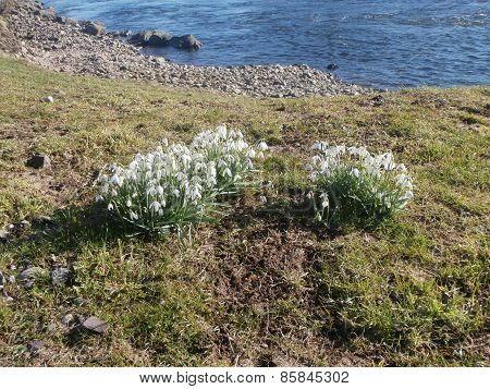 Snowdrops on grassy riverbank