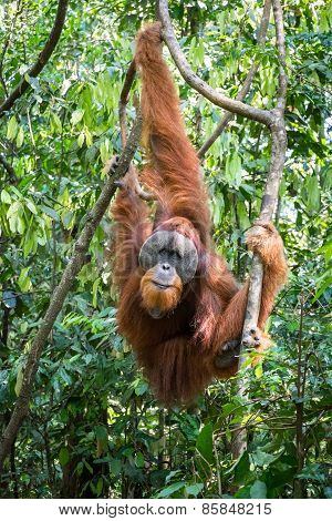Orangutan Hanging In The Trees