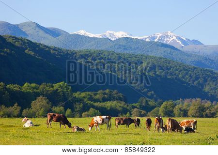 Herd Of Cows Is Grazed