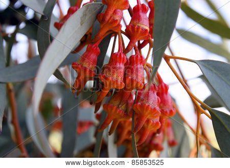 Buds  Eucalyptus Torquata