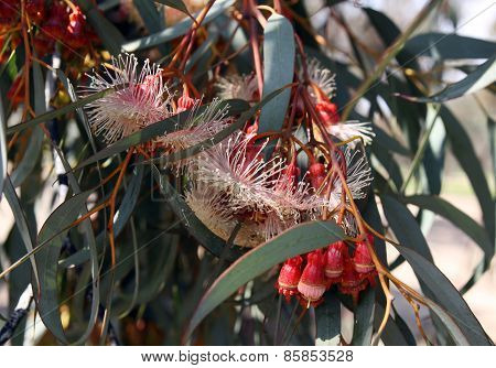 Buds And Flowers Of Eucalyptus  Torquata