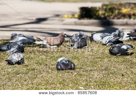 Rock feral pigeon doves