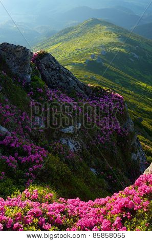 Summer in the mountains. Rhododendron flowers. Beauty in nature