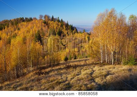 Golden birch on the hills. Autumn landscape in the mountains. Beauty in nature