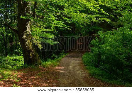 Summer landscape. Road in beech forest. Lush green trees