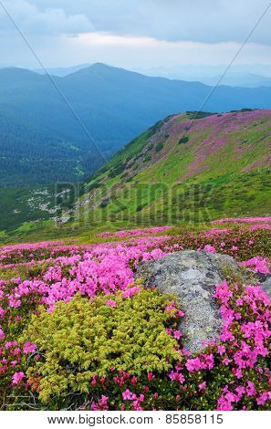 Summer landscape. Pink flowers. Blooming rhododendron. Beauty in nature