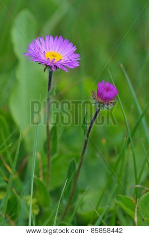 Two flowers Aster alpinus in lush green grass. Flowering meadow mountainous Caucasus. Svaneti, Georgia