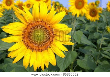 Bright Yellow Sunflowers On Blurry Sunflowers Field Background