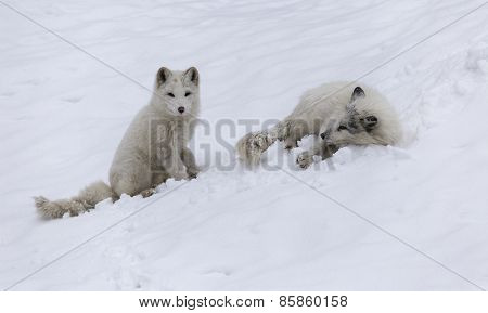 An Arctic Fox in a winter scene