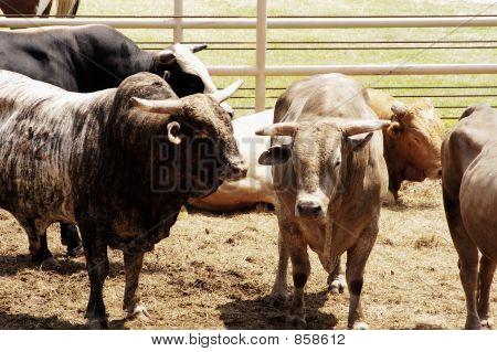 Rodeo Bulls