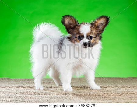Portrait Of Charming Papillon Puppy