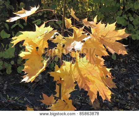 Autumn Leaves Of Norway Maple