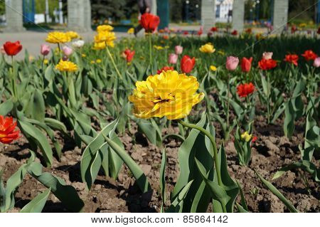 Yellow chrysanthemum on a bed in a city park