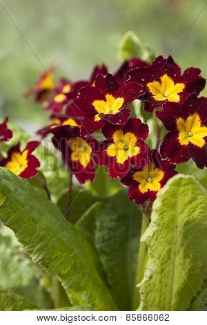 Primrose Primrose With Burgundy Flowers With Yellow Mid  .