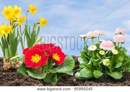 Flower Bed With Daffolis, Primroses And Daisies