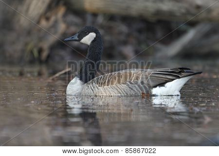 Canada Goose Swimming On A River