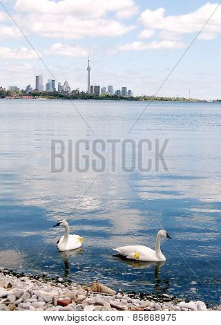 Toronto Lake Two Numbered Swans 2008